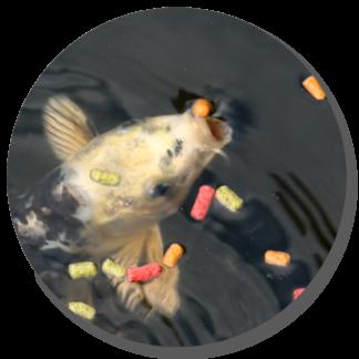 Alimento para: Peces de Agua Fría