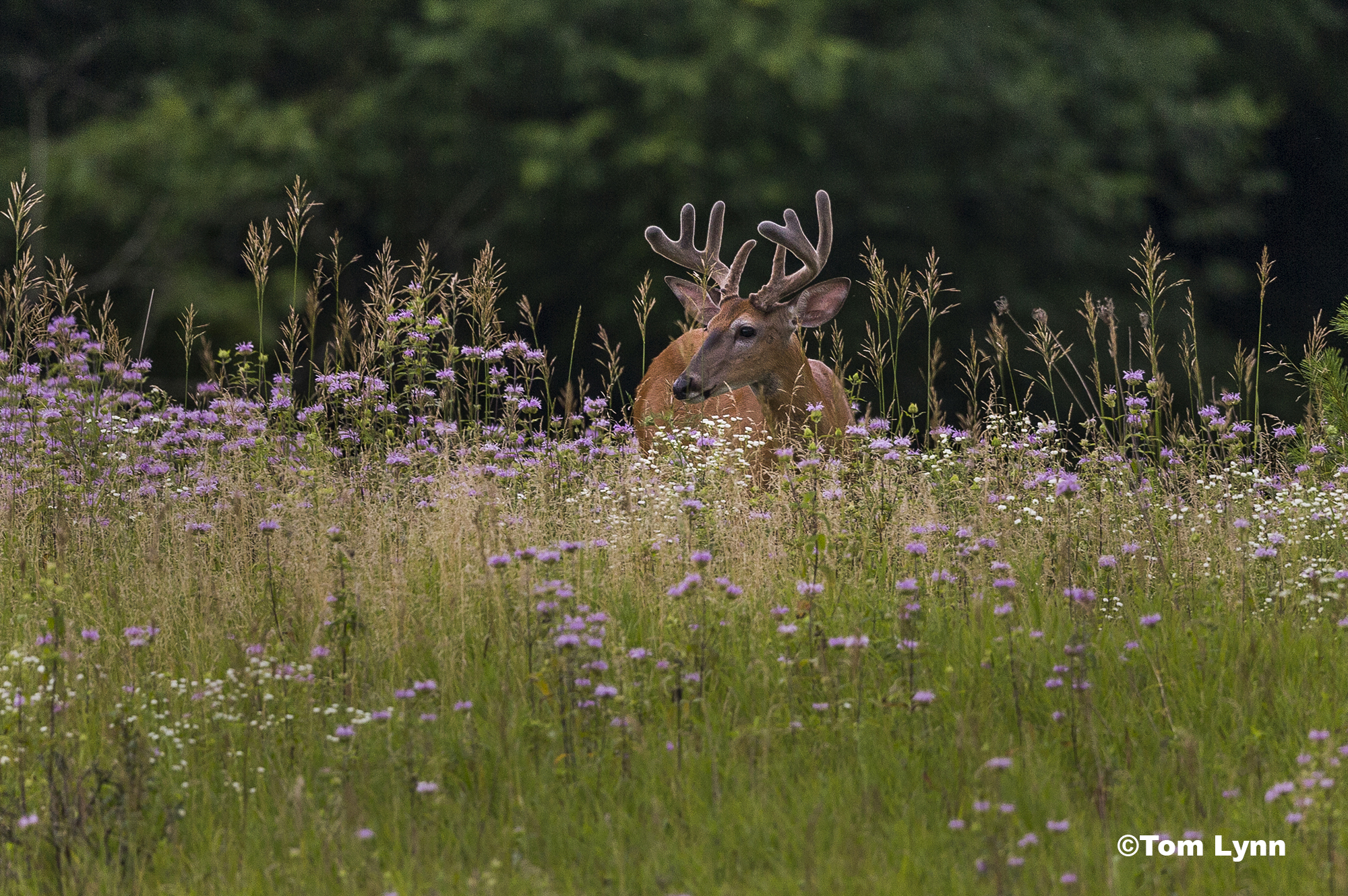 A young buck standing in a field of tall grass and wild flowers