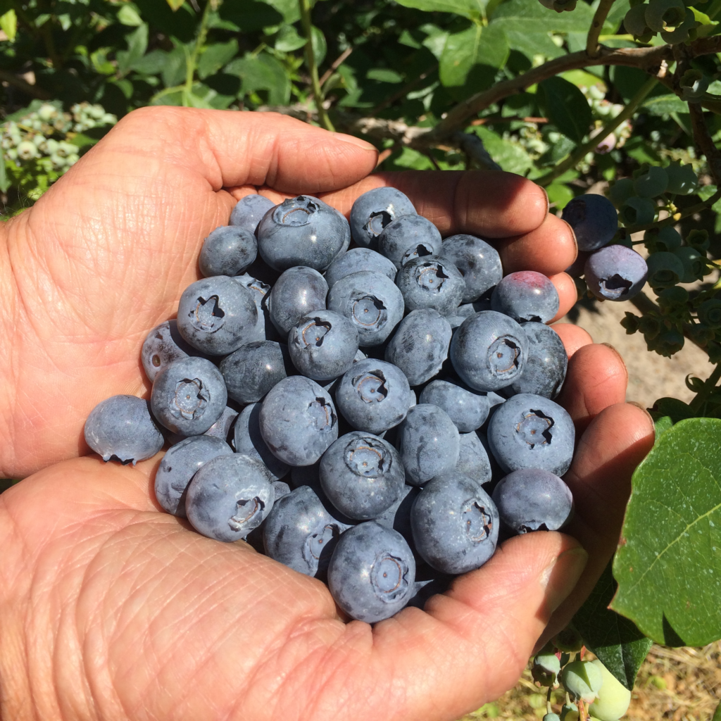 Bluecrop, Blueray & Jersey Blueberries at S Kamphuis, Holland Michigan