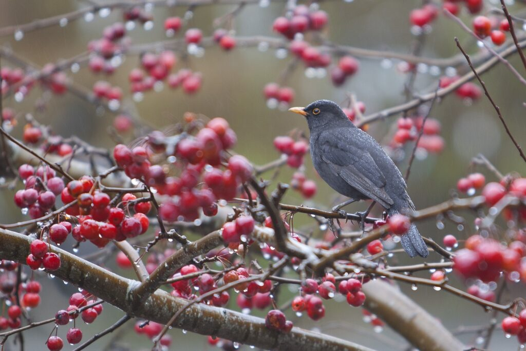 Blackbird in a tree with red fruit