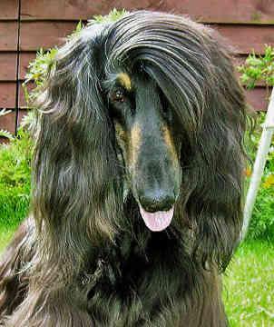 Do you know your dog breeds? Afghan Hound