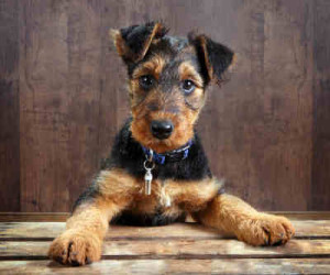Do you know your dog breeds? Airedale Terrier
