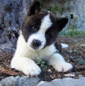 Do you know your dog breeds? Akita