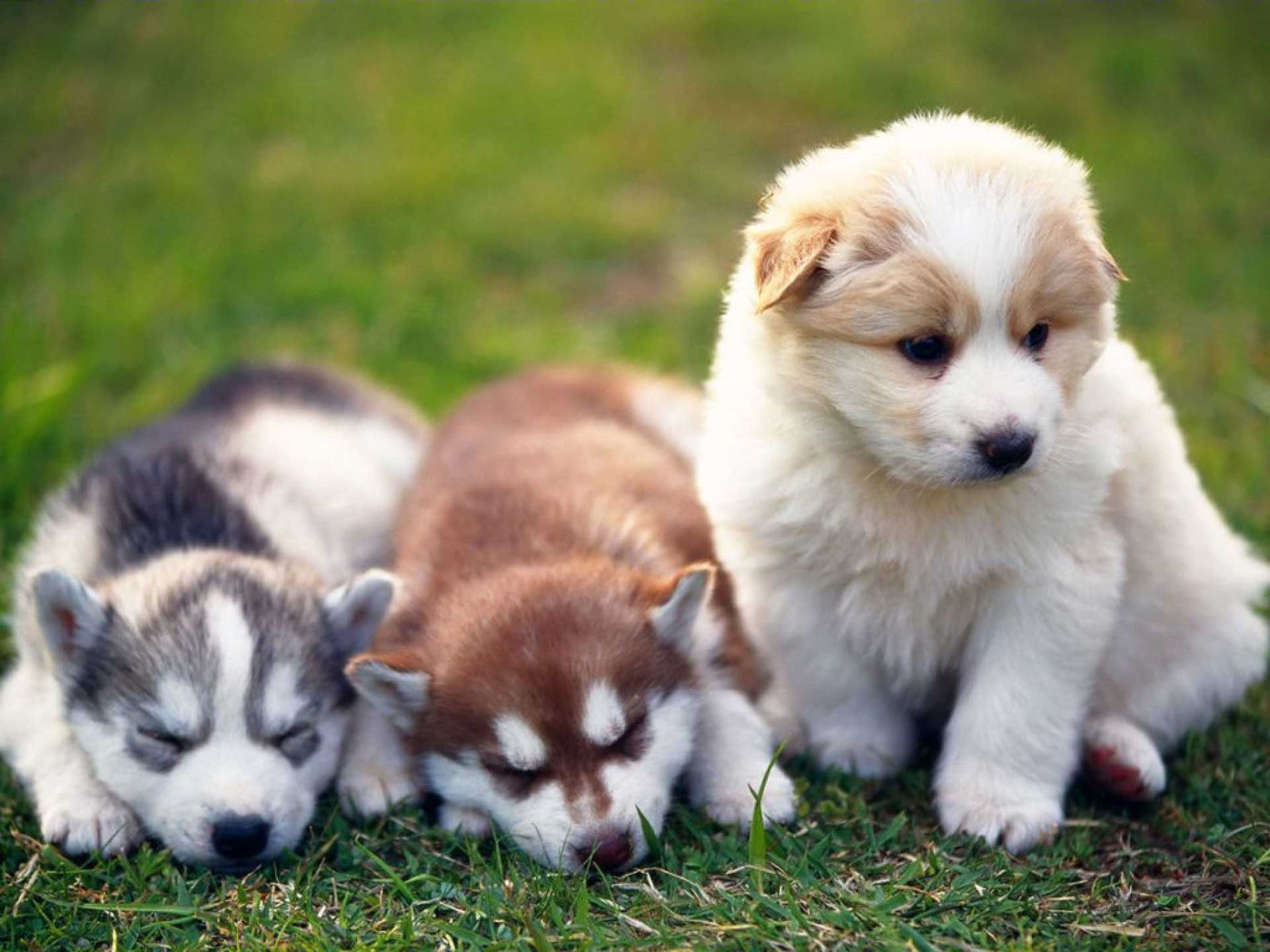 Do you know your dog breeds? Alaskan Malamute
