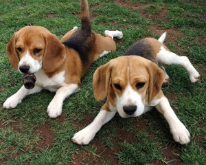 Featured dog breed- American Foxhound