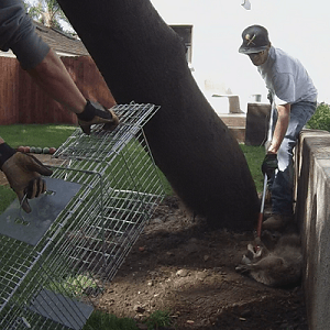 Los Angeles Raccoon Removal and Control