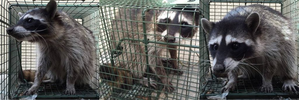 Van Nuys Wildlife & Animal Trapping, Removal & Control Services