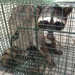 Riverside, CA Raccoon Removal & Control