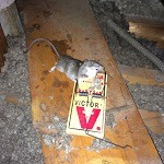 Rat Rodents In The Attic