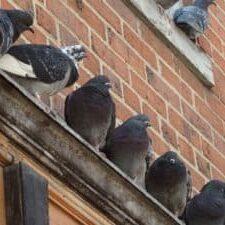 Pigeon Trapping & Removal