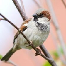 Sparrow Trapping & Removal