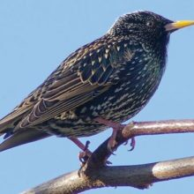 Starling Trapping & Removal
