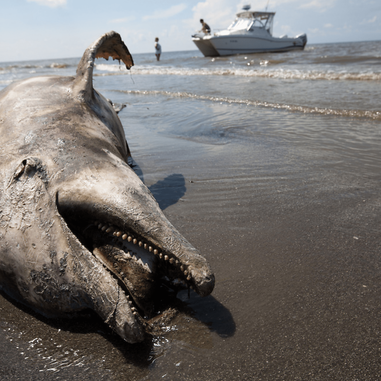 A dolphin on the beach in the Gulf Coast in the months following the BP oil disaster. Some scientists suspect that the use of oil dispersants contributed to widespread and lasting damage to marine life and ecosystems in the area.