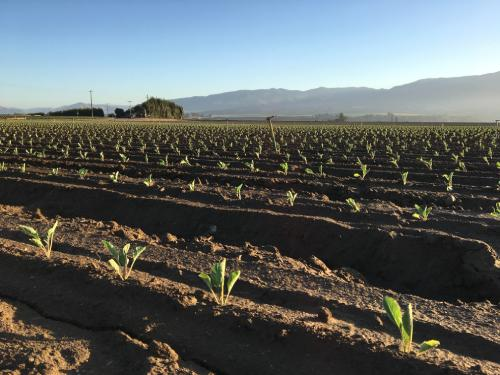 geplant-bloemkool-veld-CA (1)