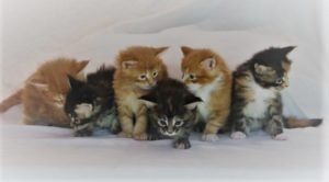 6 Maine Coon Kittens from Florida Maine Coons by OptiCoons Cattey in Florida