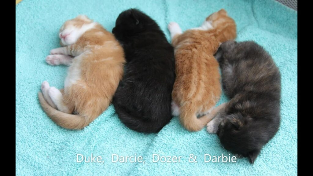 Litter D of Maine Coon Kittens from OptiCoon-Florida Maine Coons