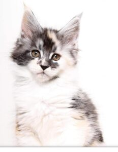 This is Copy Cat a stunning Silver Tortie