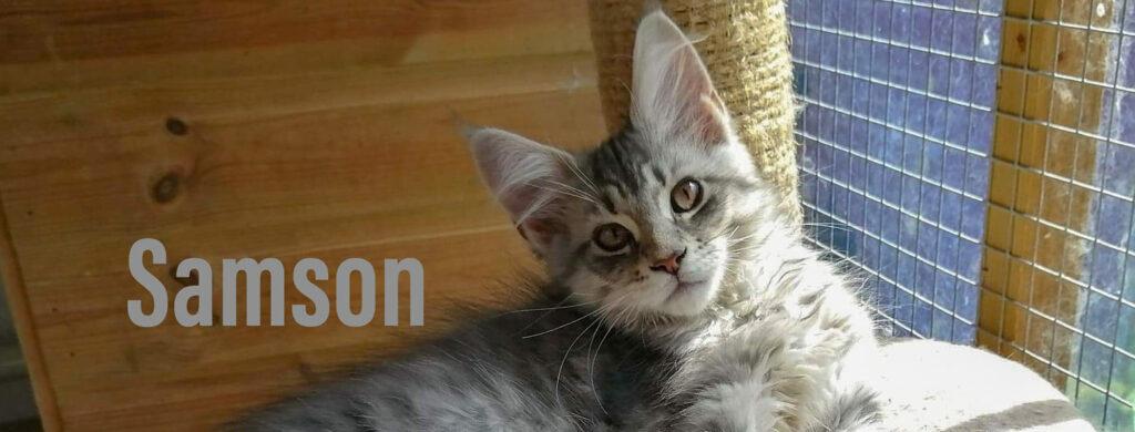 Samson a handsome Blue Silver Maine Coon