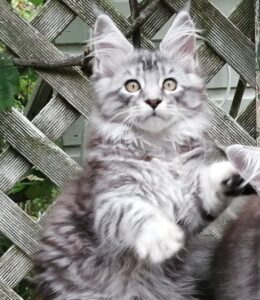 Delilah is a Silver and Black female tabby Maine Coon Cat