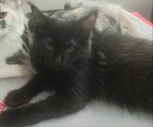 OptiCoons Darci is a stunning black female Maine Coon Kitten