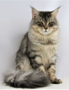 Samson - Magnificant Silver and Blue Male Mainecoon, father of the Maine Coon Litters