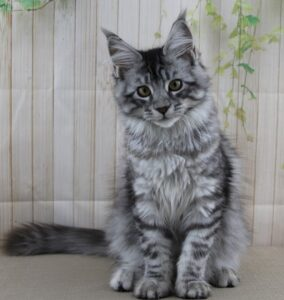 Delilah is a Queen and Florida Maine Coons, she is a Silver and Black female Maine Coon