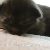 Darbie is a stunning all black female Maine Coon kitten