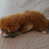 Our Red Male Maine Coon kitten, Dozer at Florida Maine Coons studio