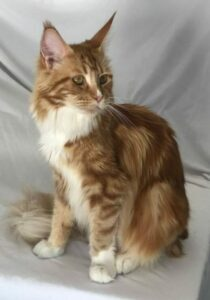 This is Bloody Mary, A Red Maine Coon female cat at the Florida Maine Coons cattery in Dunnellon, Floridacat