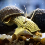 Yellow Poso Rabbit Snail