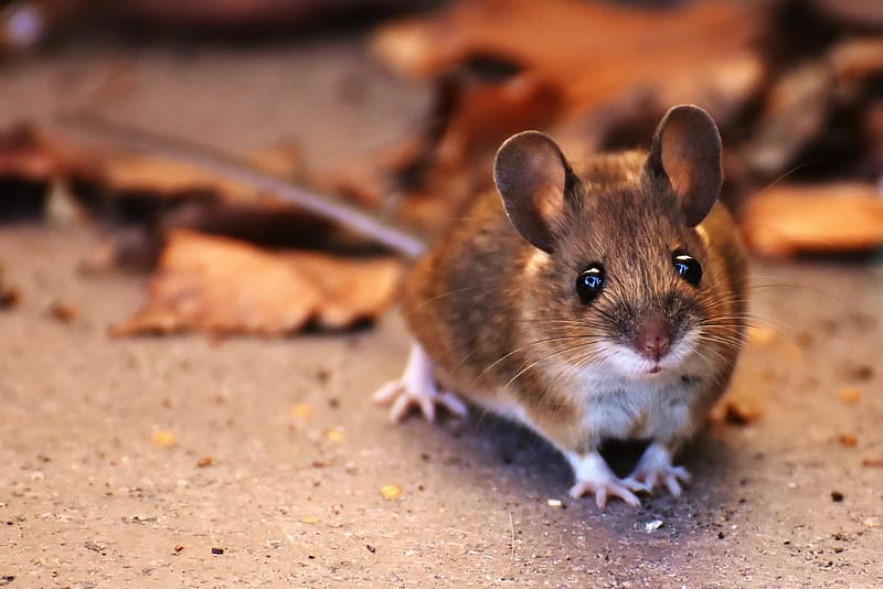 Alcoholic mice abstain from drinking more often with MTII