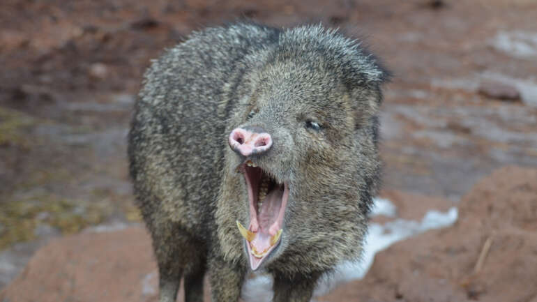 Are You Facing a Javelina or a Coyote?
