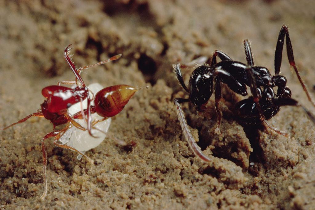 Trapjaw ant Image 1