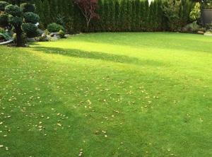 Bentgrass sod for backyard lawn by Western Turf Farms