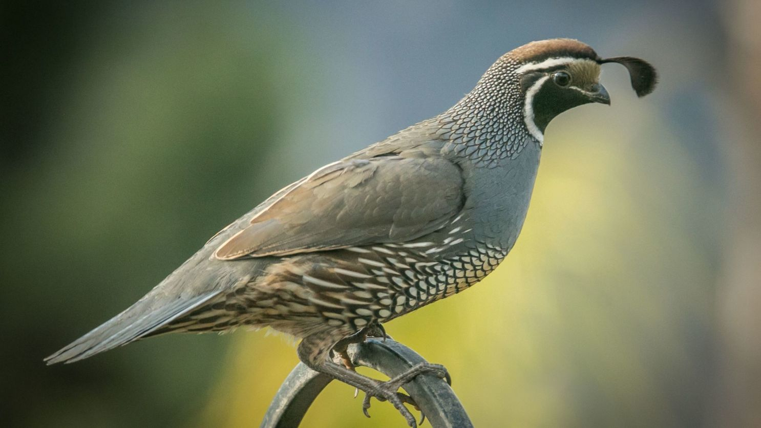 Quail: It's what's for dinner!