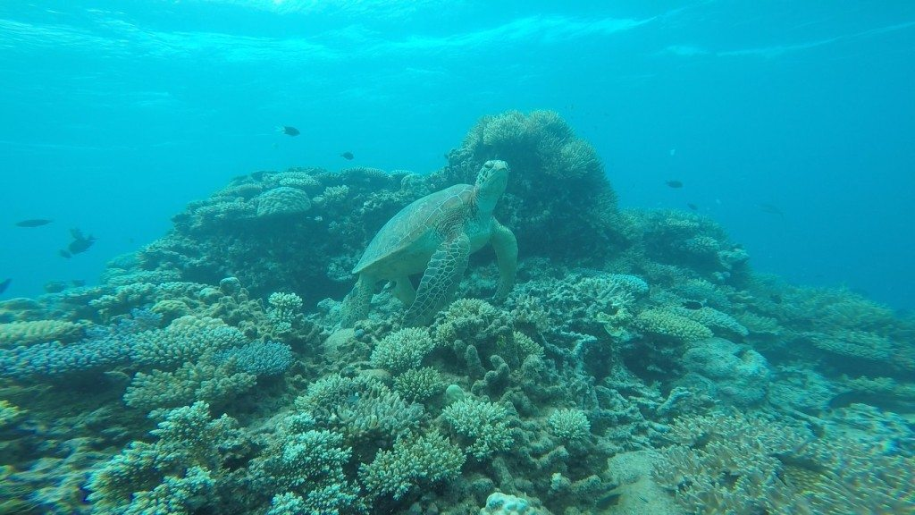 The Great Barrier Reef is filled with amazing coral, color fish and large marine life.