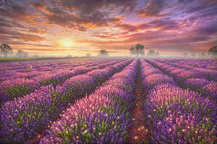 Lavender Field Preview