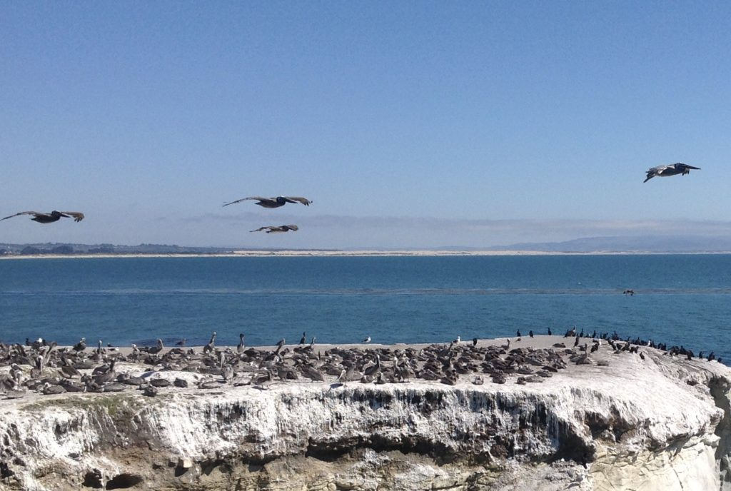 The Pelican Family Series-Brown Pelicans off of coast of California-#52 Meet The Pelicans