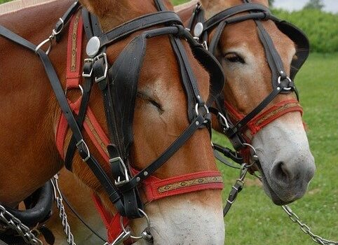 Mules to pull wagon in ancestry story