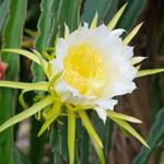 dragonflower1