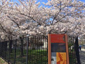 Flushing Cherry Blossom @ Lewis Latimer House Museum | New York | United States
