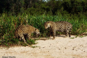 """Discover the Pantanal Jaguar"" - Queens County Bird Club presentation @ Virtual"