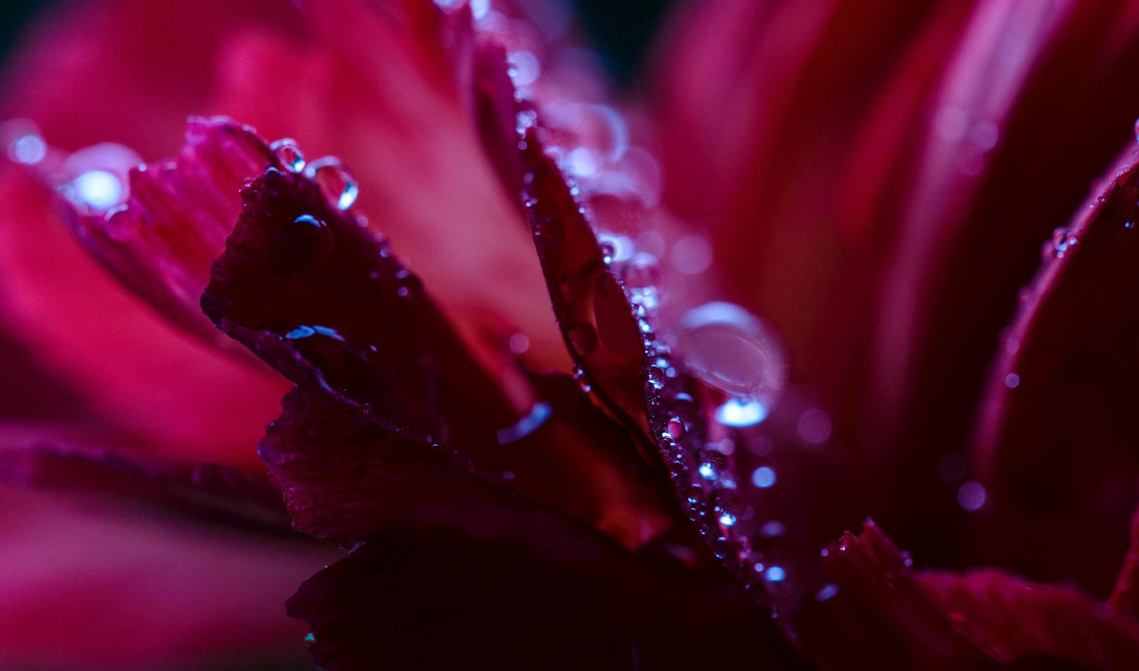dew on the petals of a vermillion-colored rose