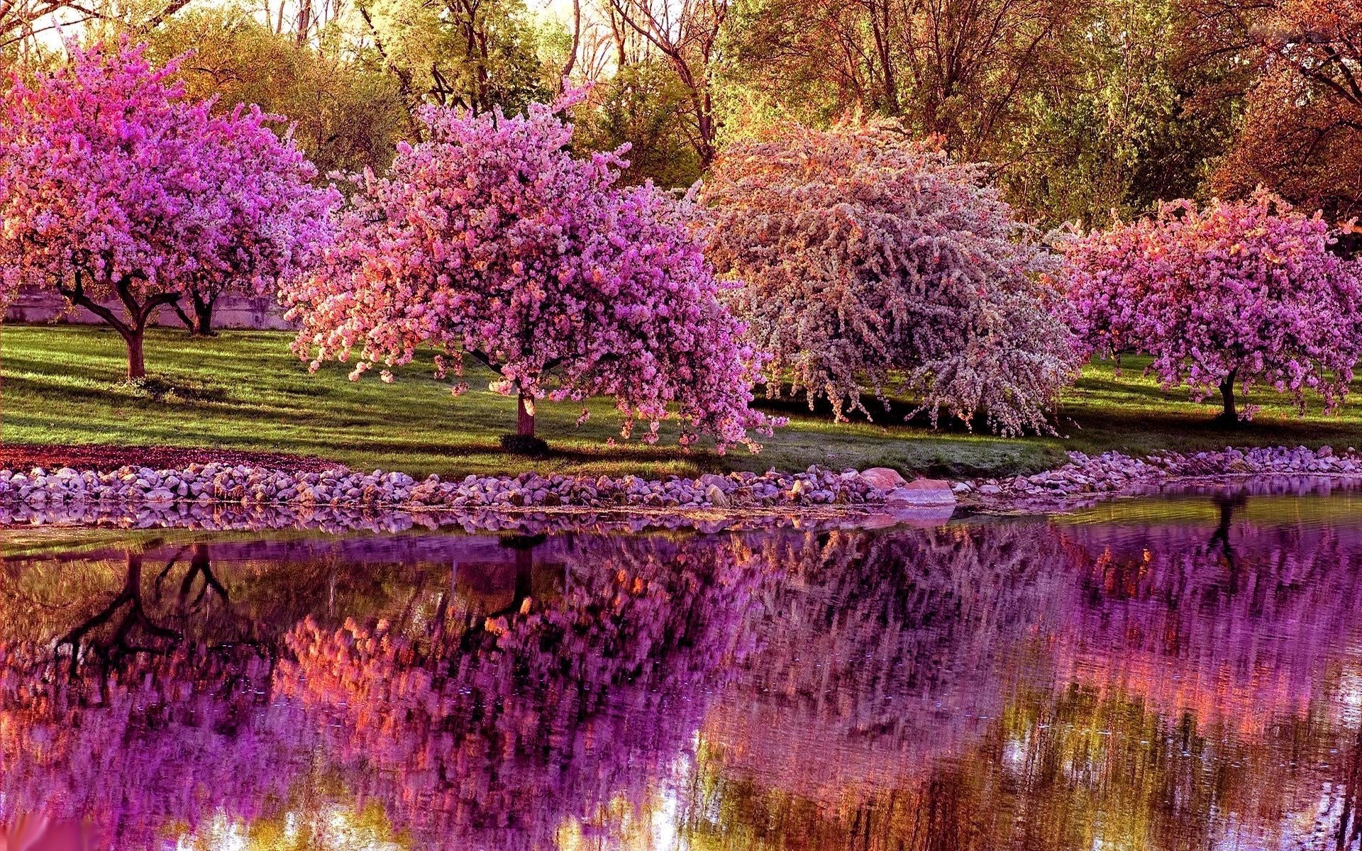 cherry blossoms reflecting on river image