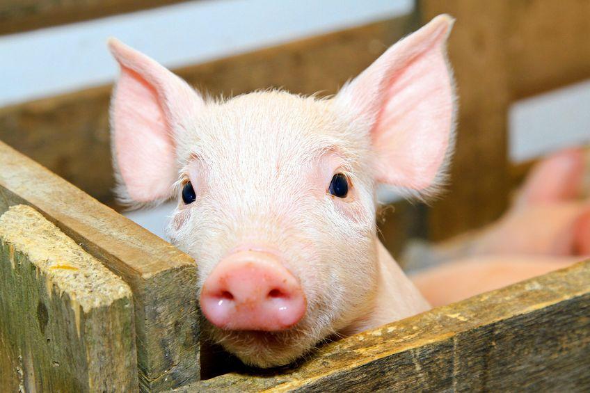 grateful little pig image