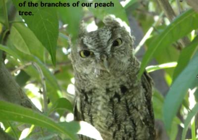 fledgling owl image