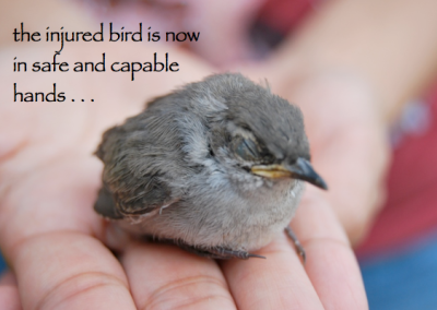 injured bird in capable hands