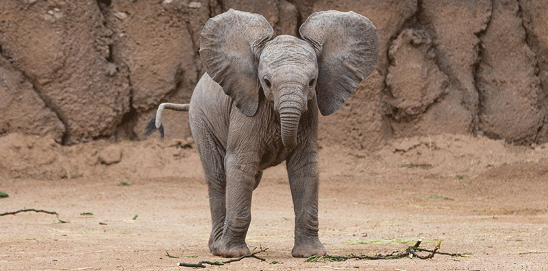 Meet Elle, our adopted African Elephant
