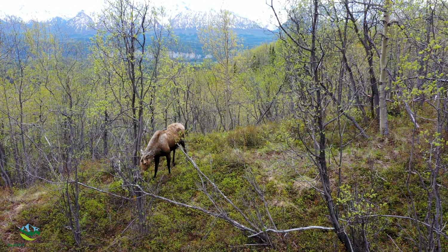 Alaska Moose and Mountain