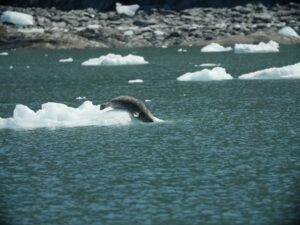 harbor seal ice